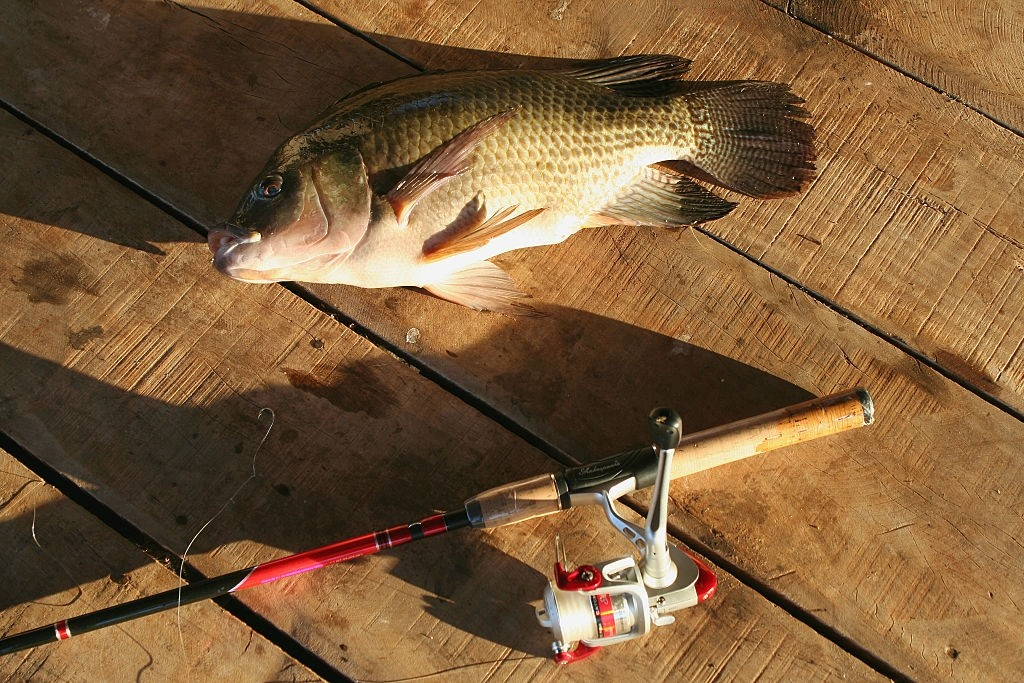how to catch tilapia in a pond